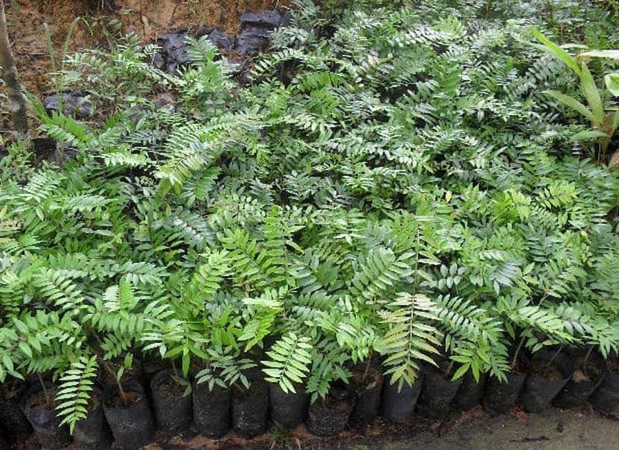 usos de la euricomia longifolia