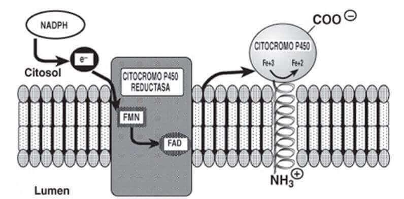 citocromo p-450