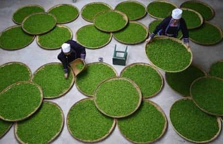 cultivo del te