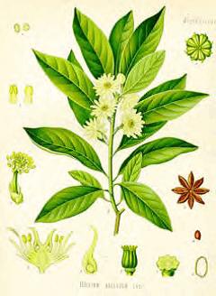 ilicium anisatum